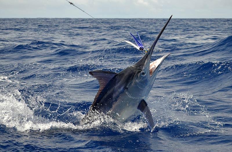 Black-Marlin-10